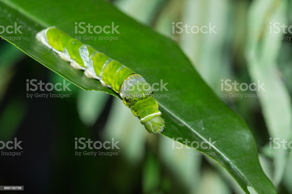 Caterpillar of butterfly Papilio Polytes stock photo