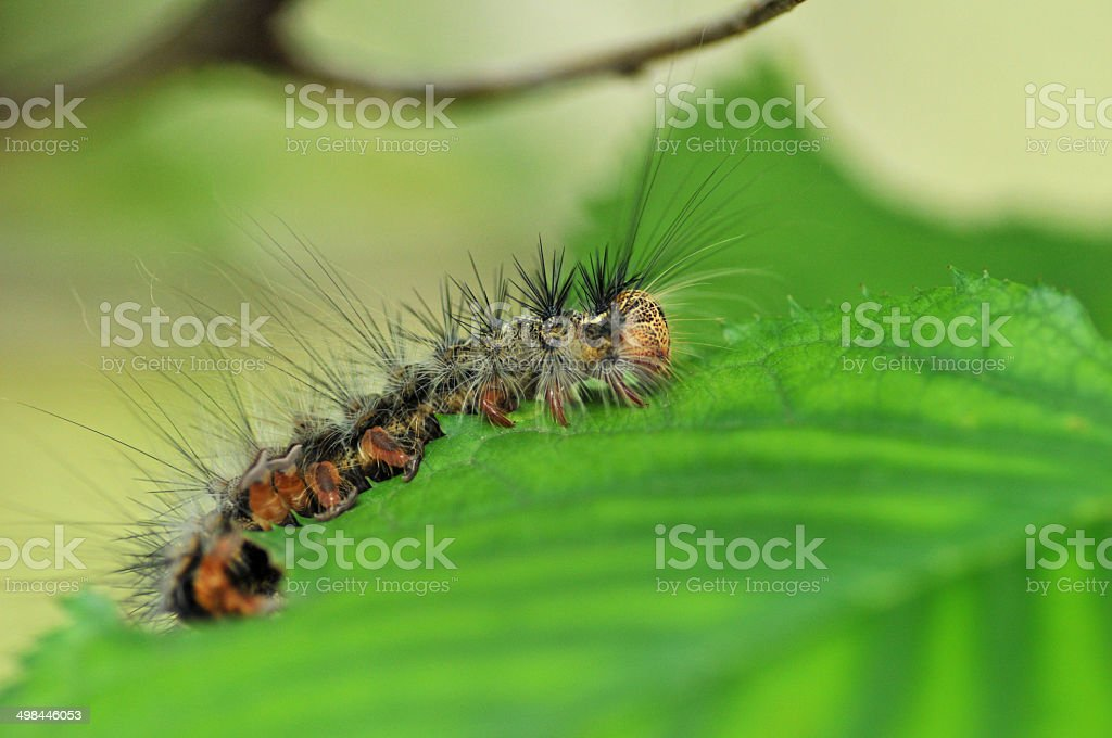 Caterpillar of cherry tree leaves stock photo