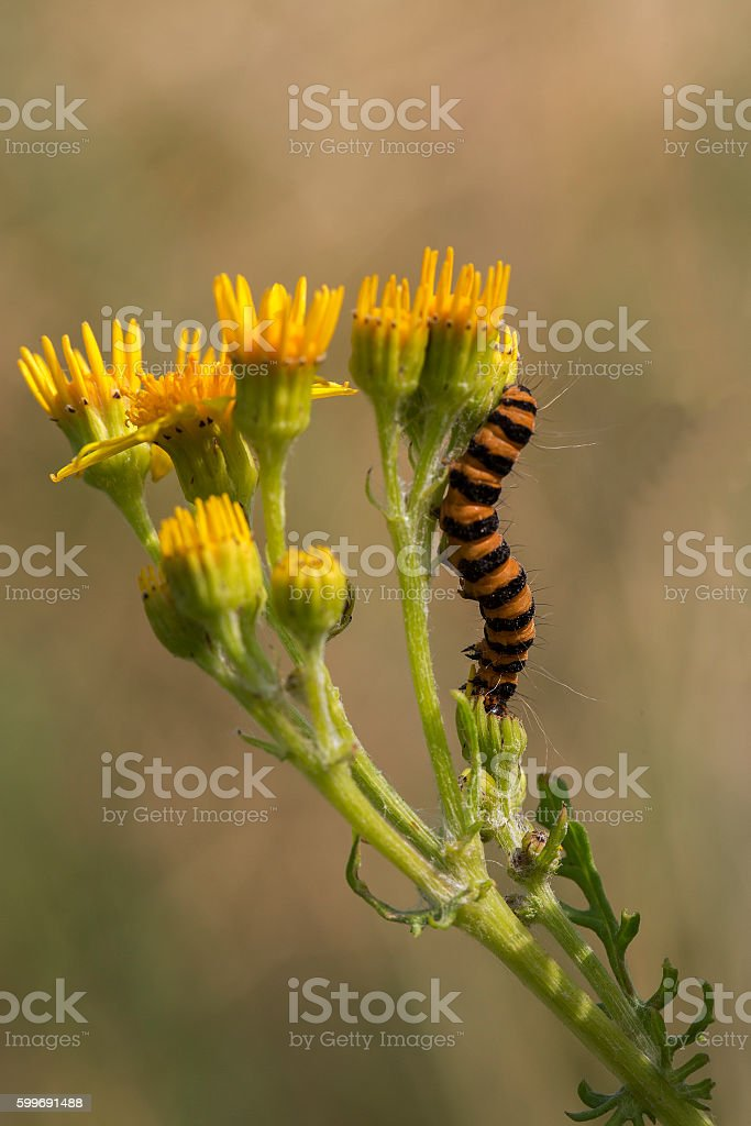 Caterpillar of Cinnabar moth on Ragwort stock photo