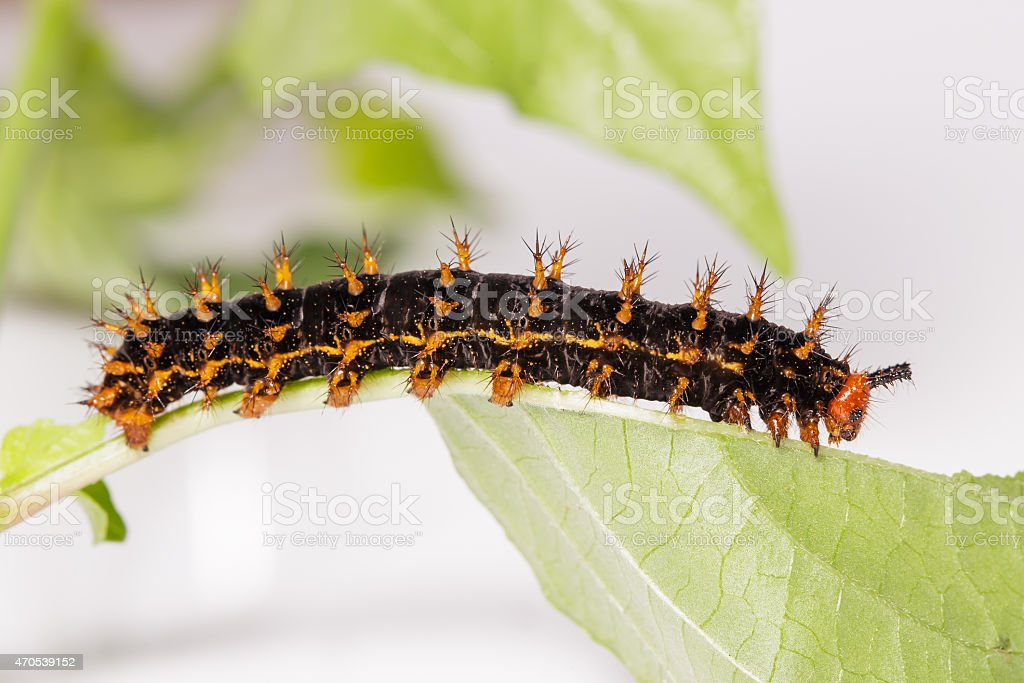 Caterpillar of great eggfly butterfly stock photo