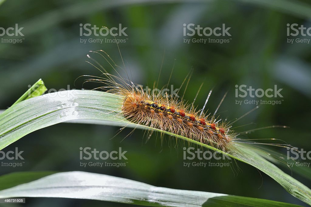 Caterpillar of gypsy moth stock photo