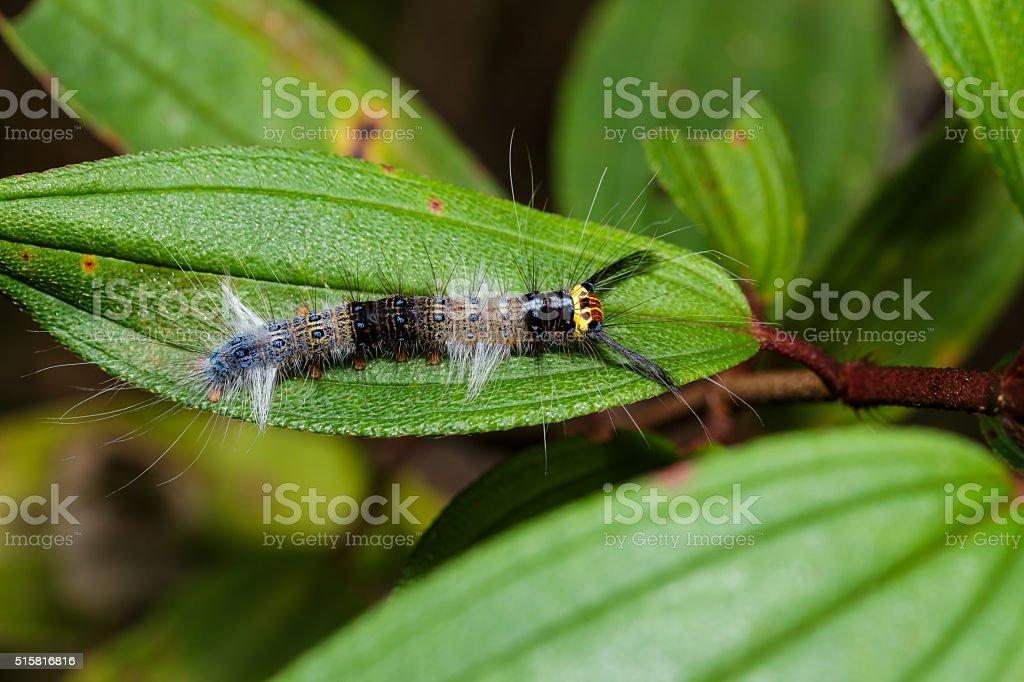 Caterpillar of lappet moth , Lasiocampoidea stock photo