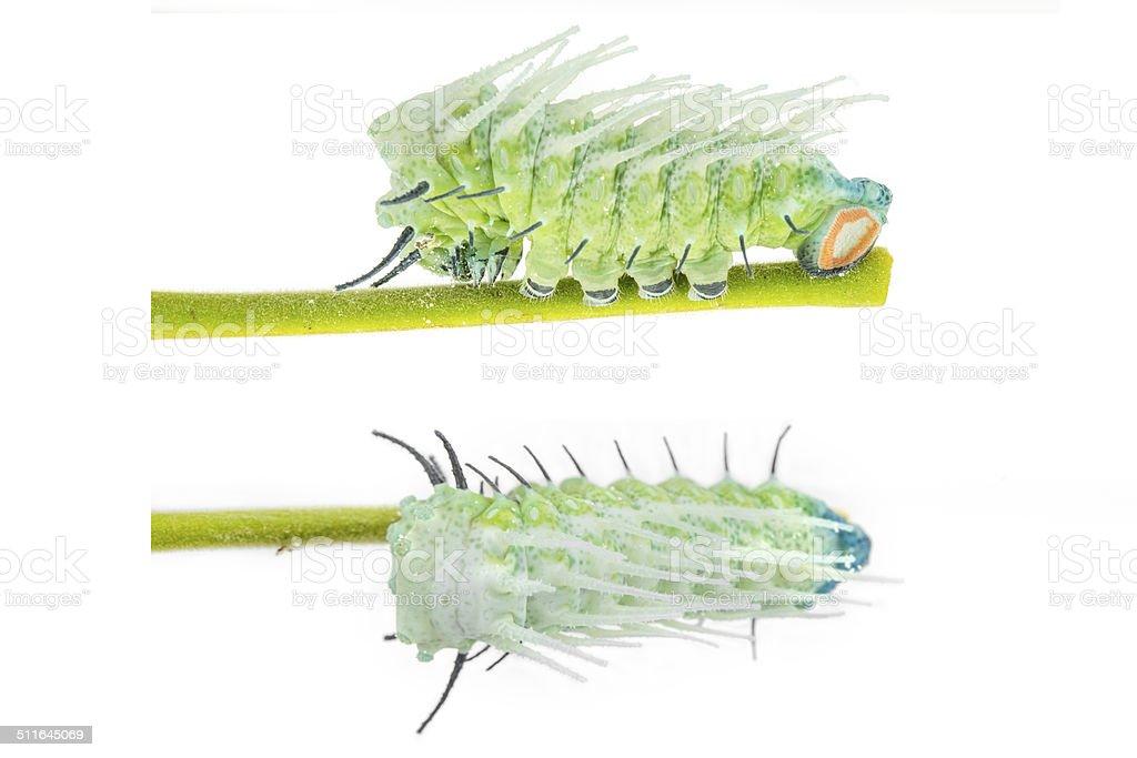 Caterpillar of largest attacus atlas moth stock photo