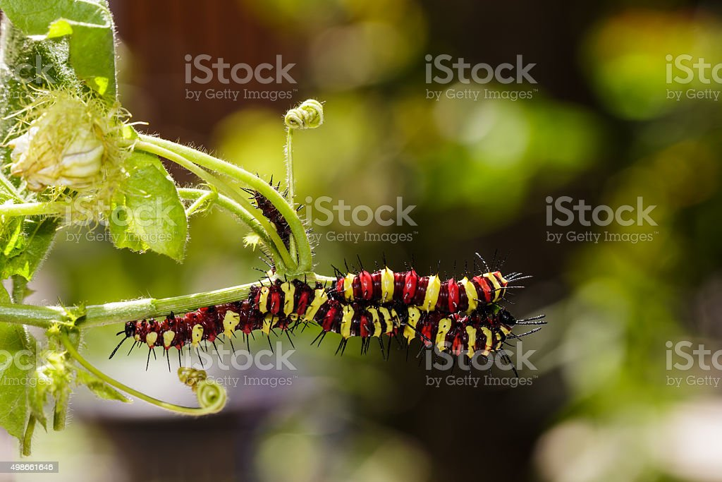 Caterpillar of Leopard lacewing (Cethosia cyane euanthes) butter stock photo