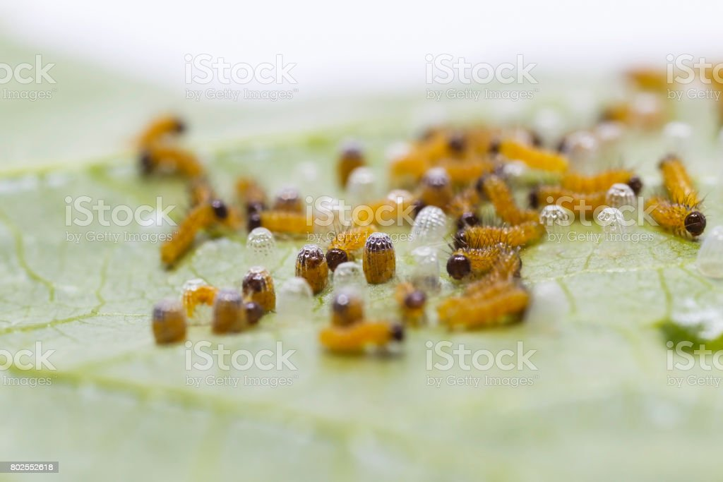 Caterpillar of Leopard lacewing (Cethosia cyane euanthes) stock photo