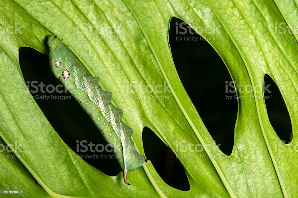 Caterpillar of neotropical Hawk moth stock photo