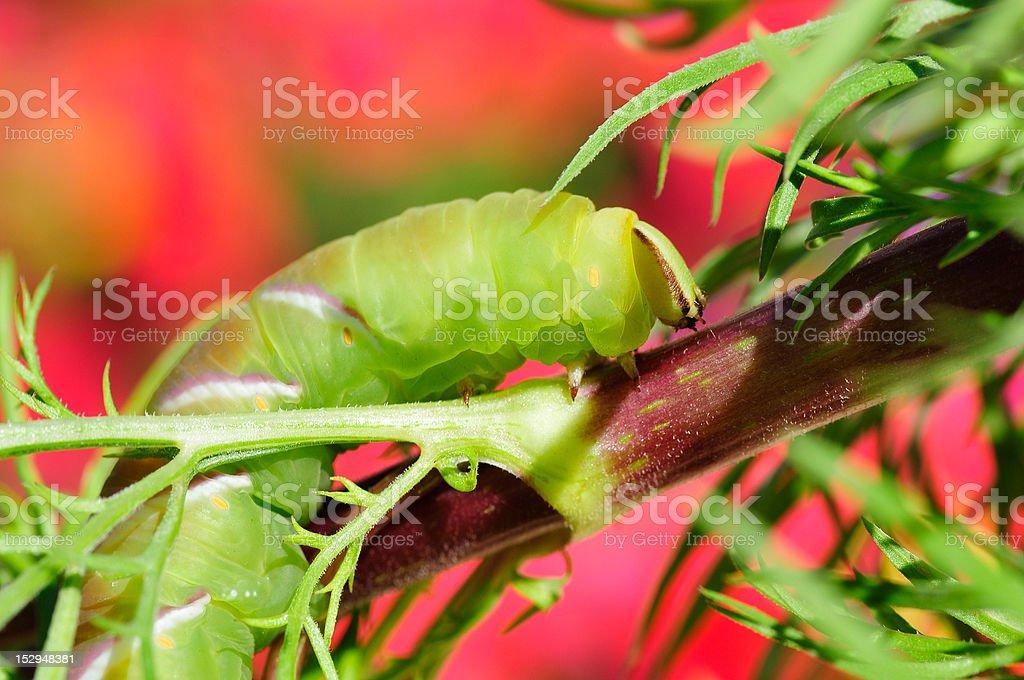 Caterpillar of Privet Hawk Moth butterfly stock photo