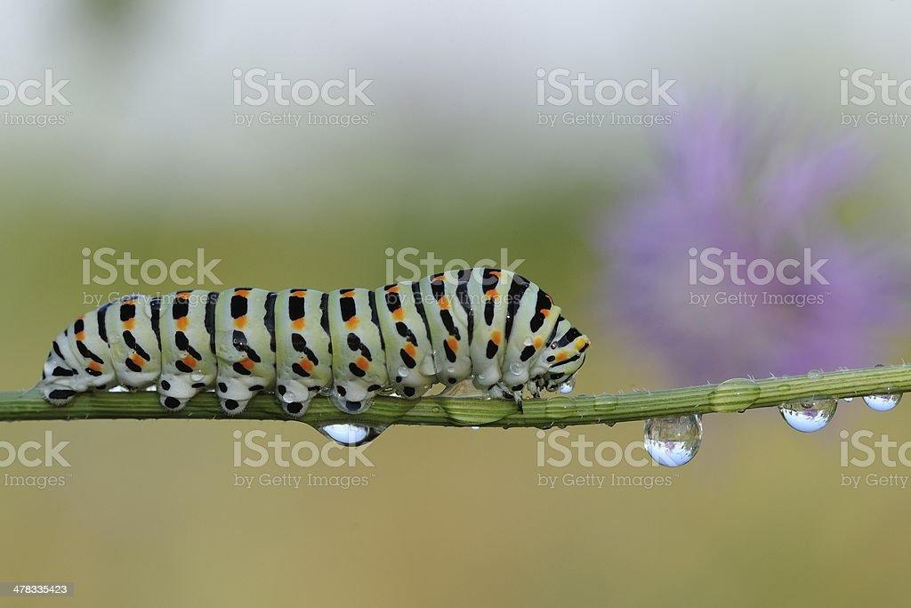 caterpillar of swallowtail (Papilio machaon) stock photo
