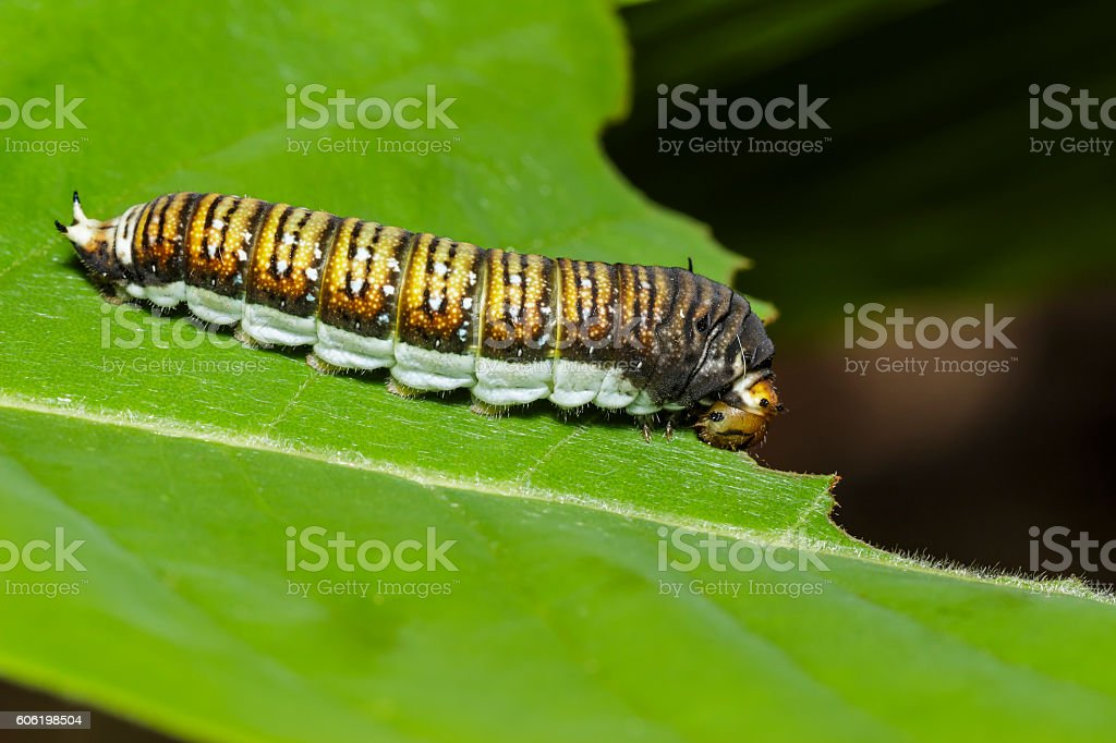 Caterpillar of The Chain Swordtail butterfly stock photo