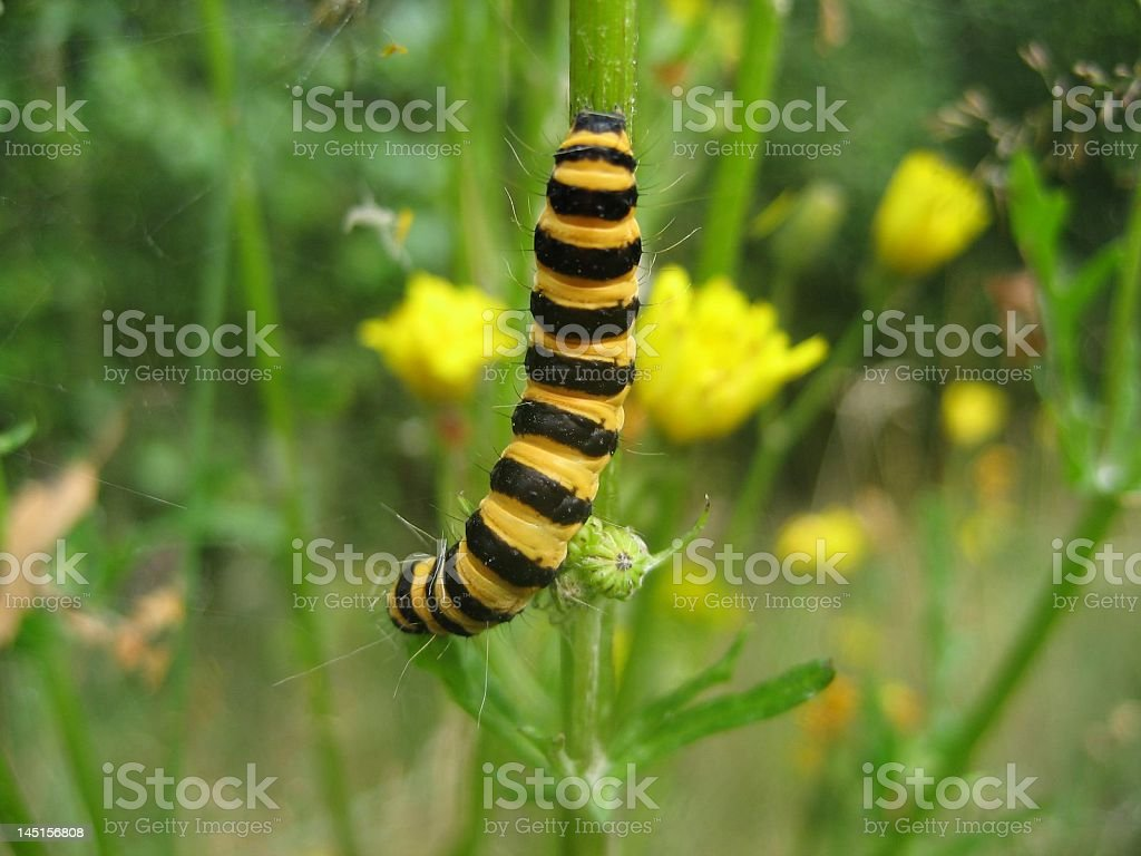 Caterpillar of the Cinnabar moth stock photo