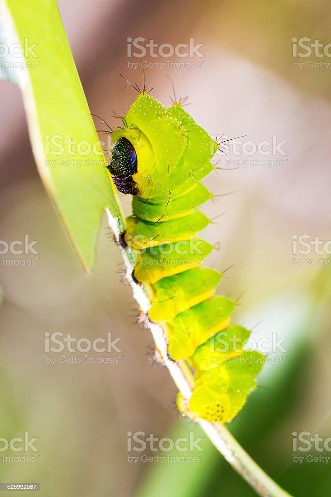 Caterpillar of the Comet moth stock photo