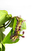 Caterpillar of White Commodore butterfly on leaf