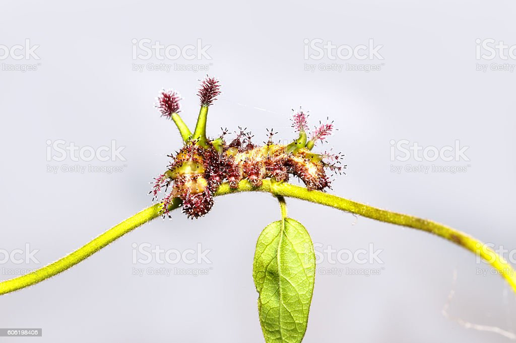 Caterpillar of White Commodore butterfly on leaf stock photo