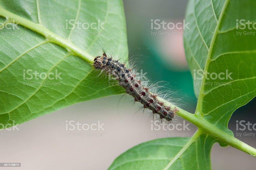 Caterpillar en una hoja foto de stock libre de derechos
