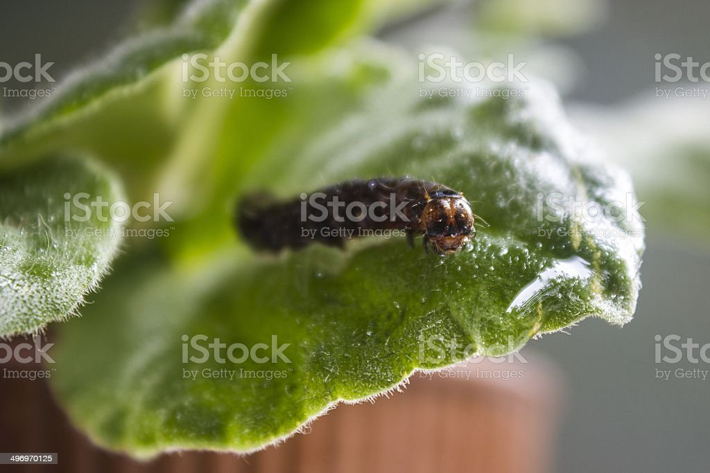 Caterpillar on a leaf stock photo