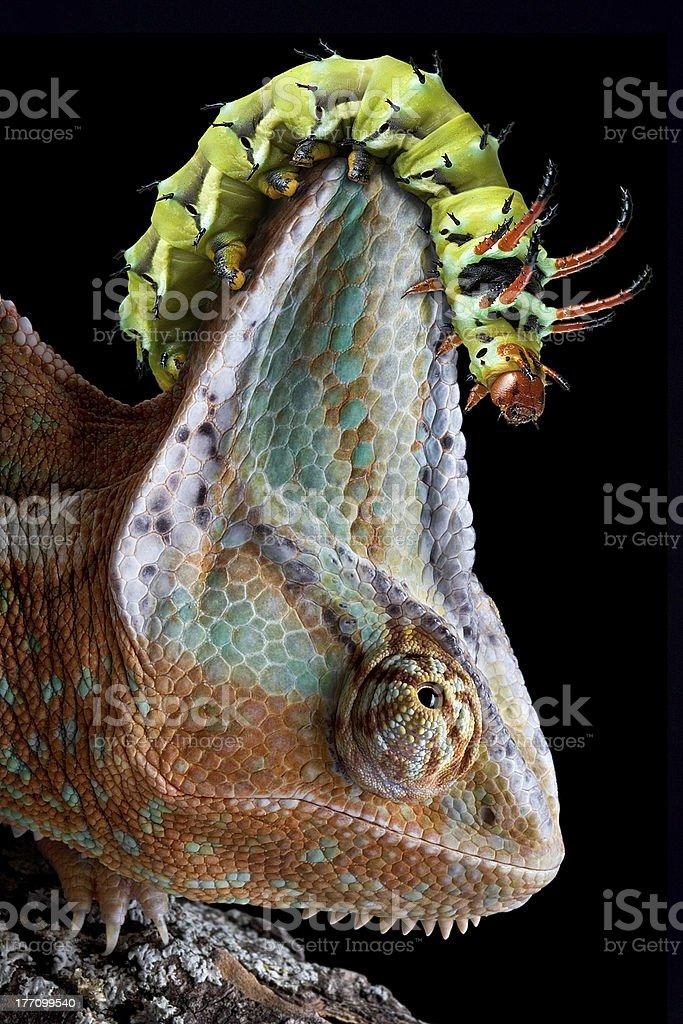 Caterpillar on chameleon's head stock photo