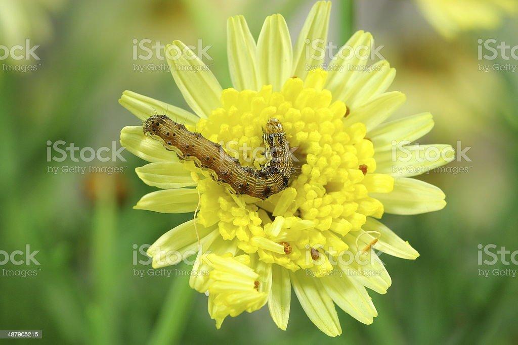 Caterpillar on daisy stock photo