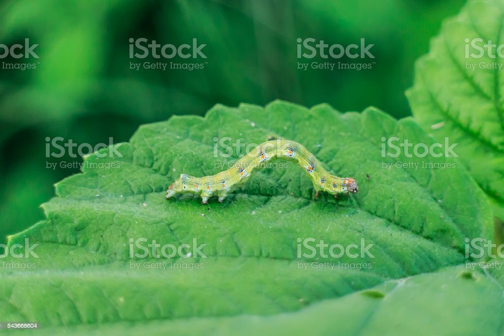 Caterpillar on green leaf stock photo