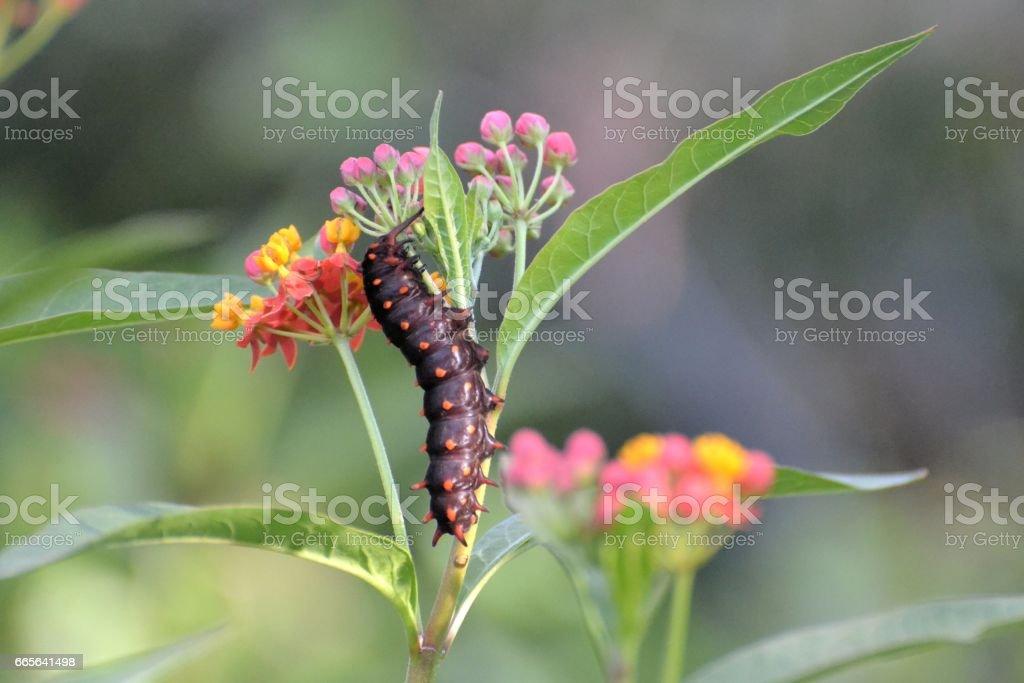 Caterpillar on Milkweed stock photo