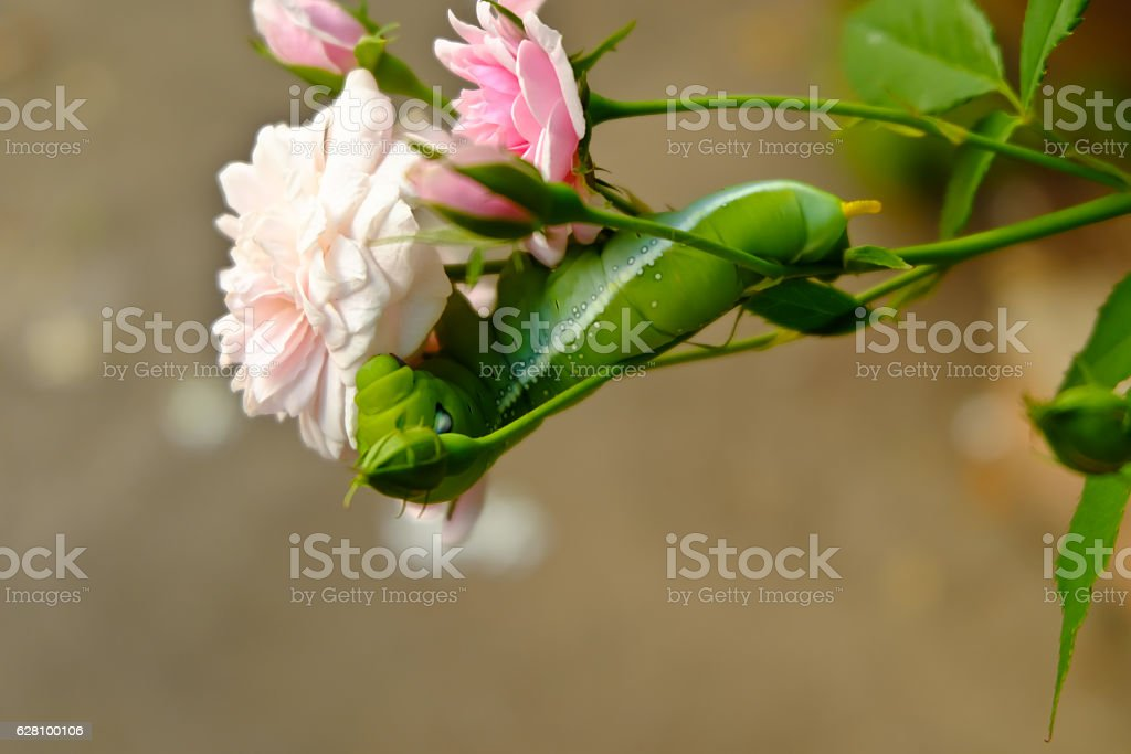 Caterpillar on pink rose. Garden pest. stock photo