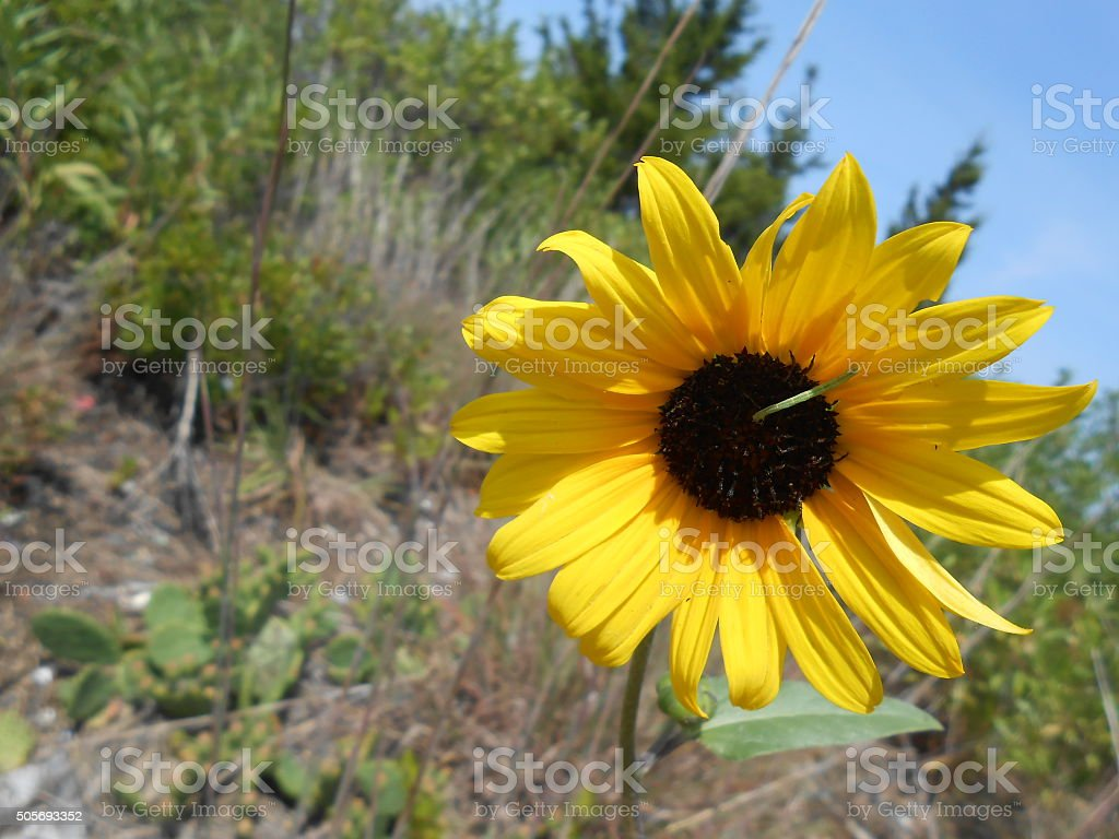 Caterpillar on Sunflower on Sandy Hook Beach. stock photo