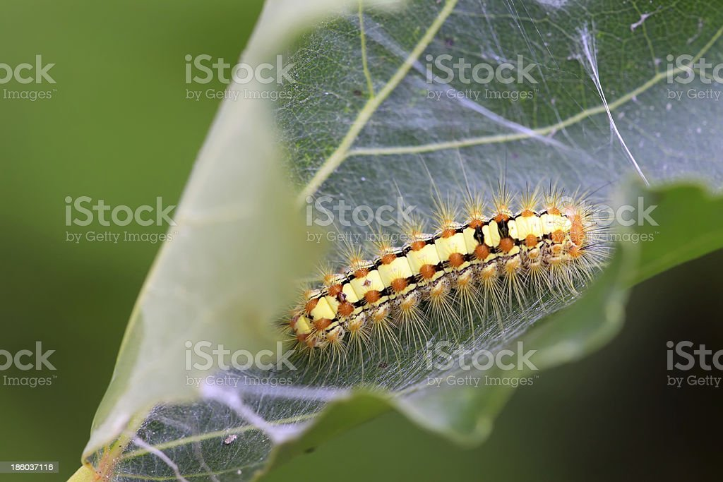 caterpillar on the plant stem royalty-free stock photo