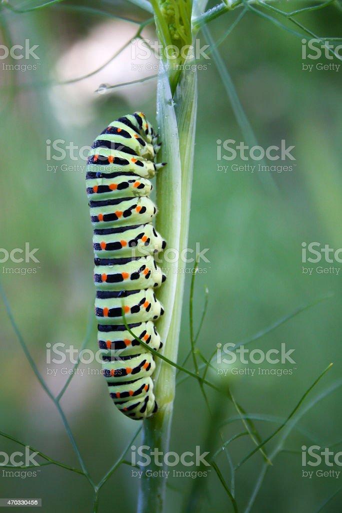 caterpillar on wild fennel stock photo