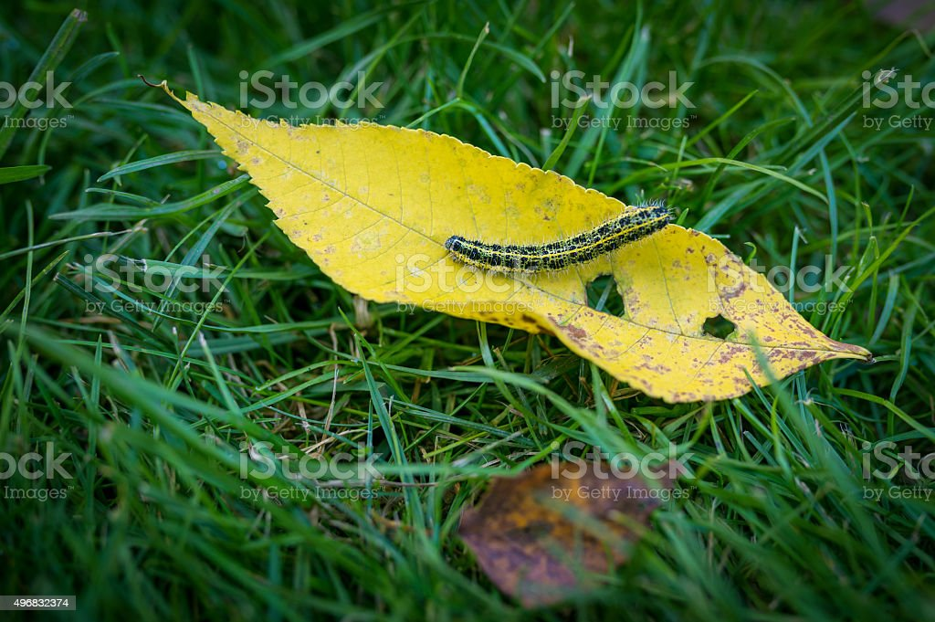 Caterpillar on withered leaf. stock photo