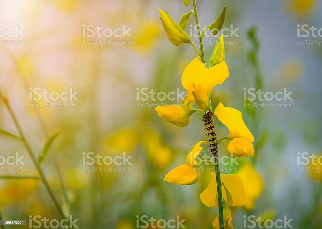 Caterpillar on yellow flower with blurred nature background. stock photo