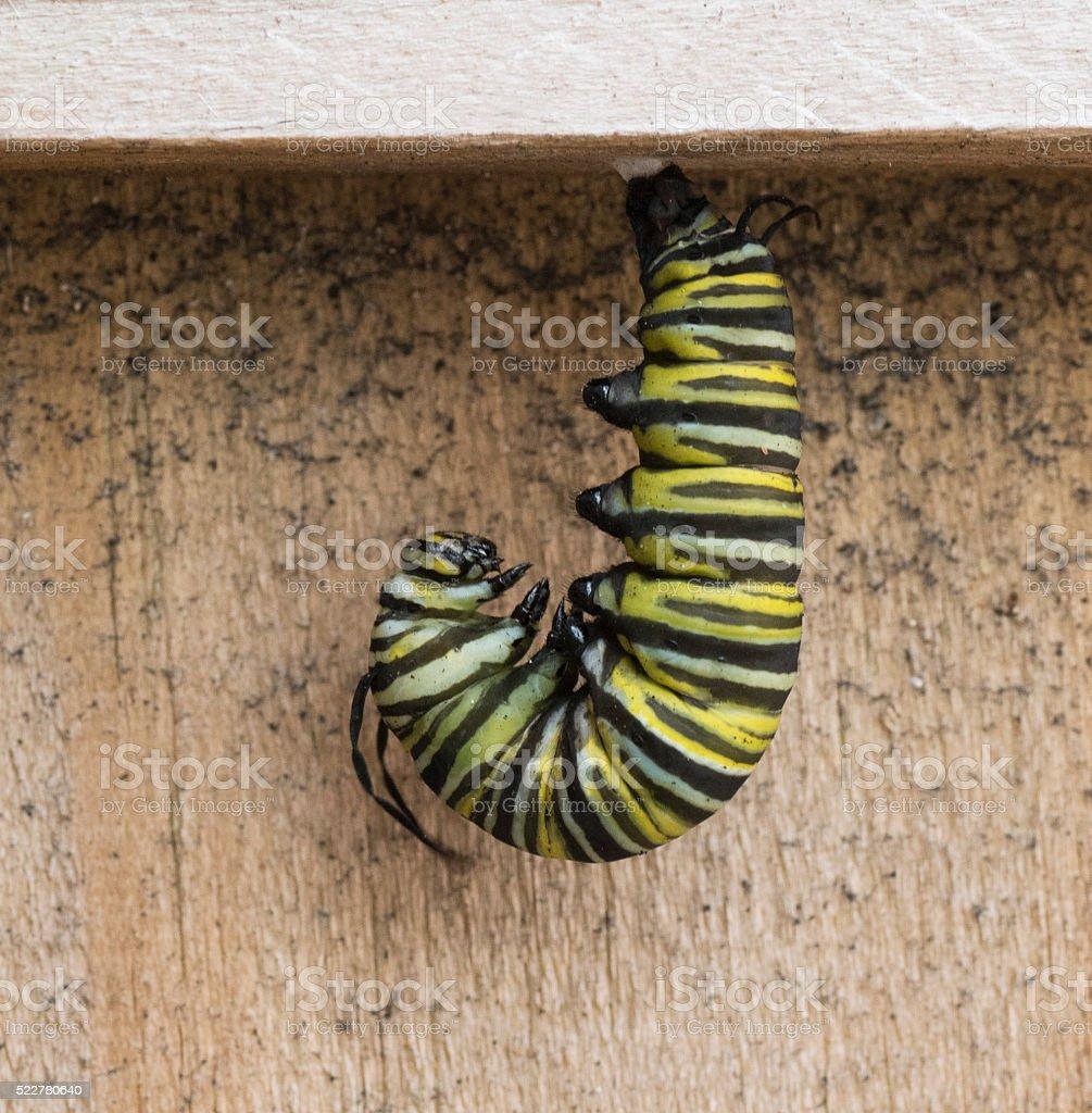 Caterpillar Preparing to Pupate stock photo