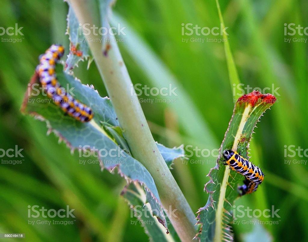 Caterpillar to eat grass and eat. stock photo