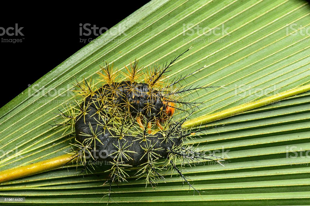 caterpillar with stinging spines stock photo