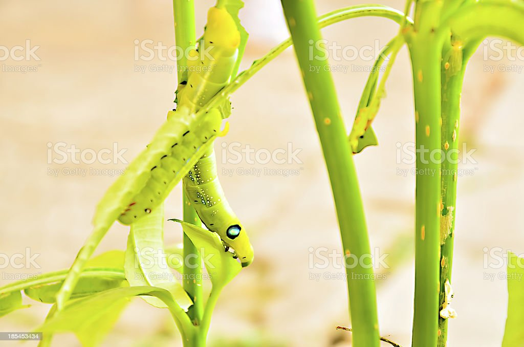 Caterpillars eat leaves. stock photo