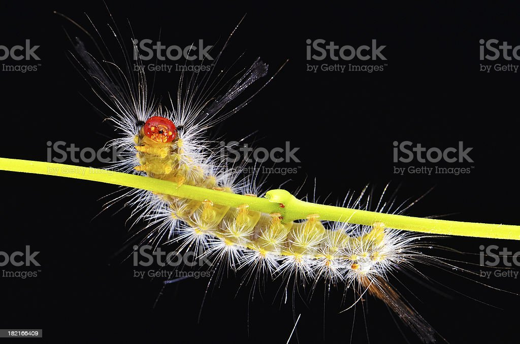 Caterpillar's looking threatening stock photo
