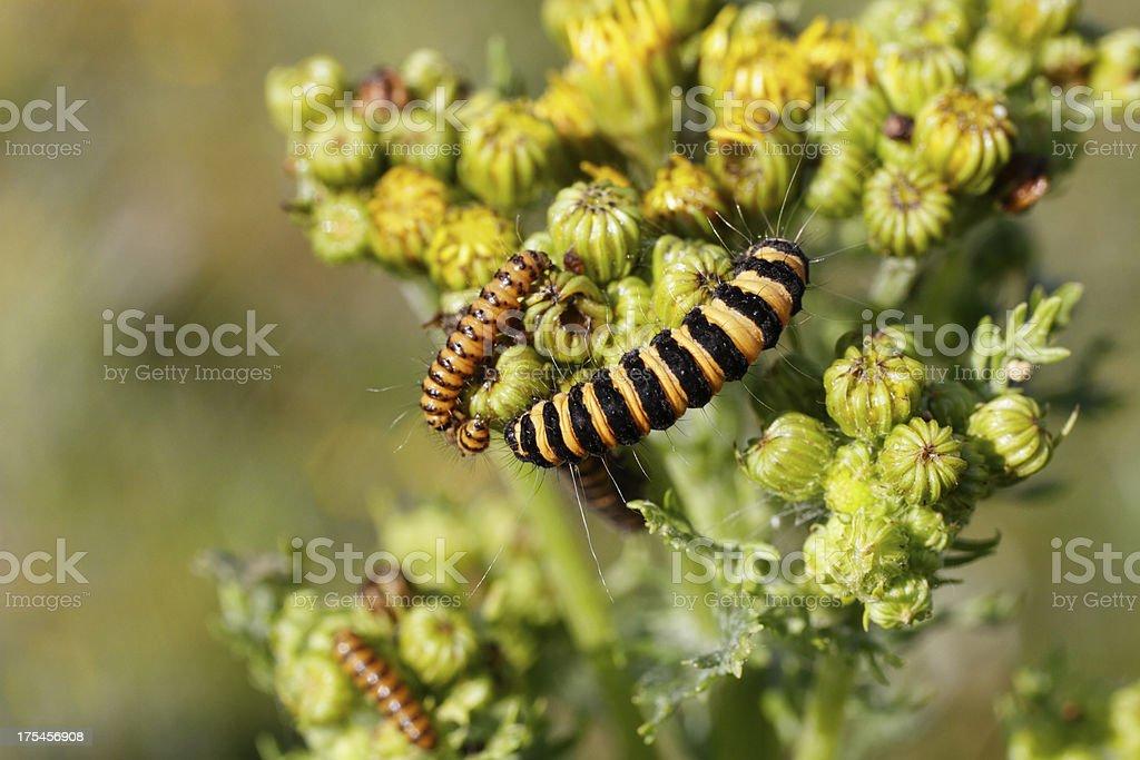 Caterpillars of cinnabar moth Tyria jacobaeae on ragwort growing points stock photo