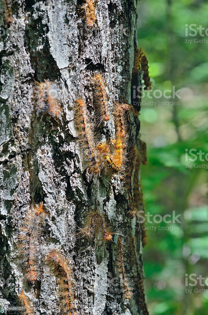 Caterpillars of gypsy moth stock photo