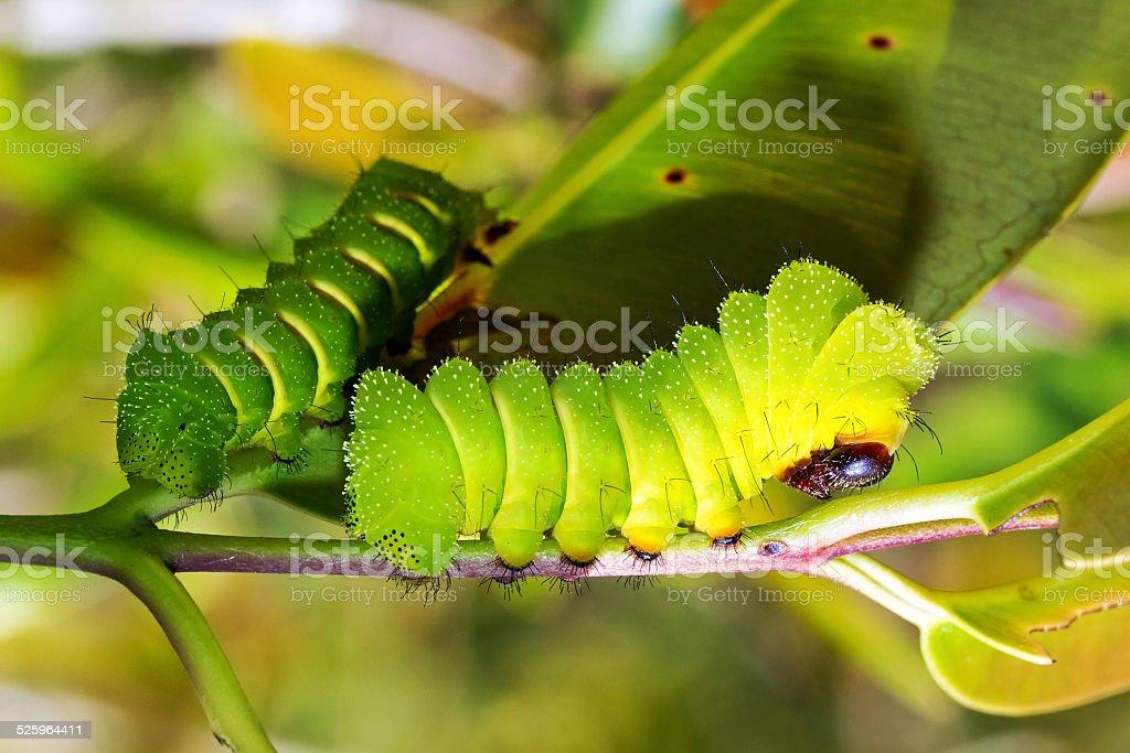 Caterpillars of the Comet moth stock photo