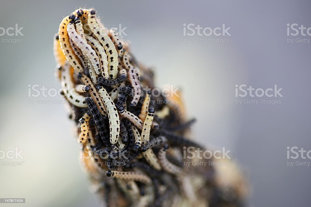 caterpillars royalty-free stock photo