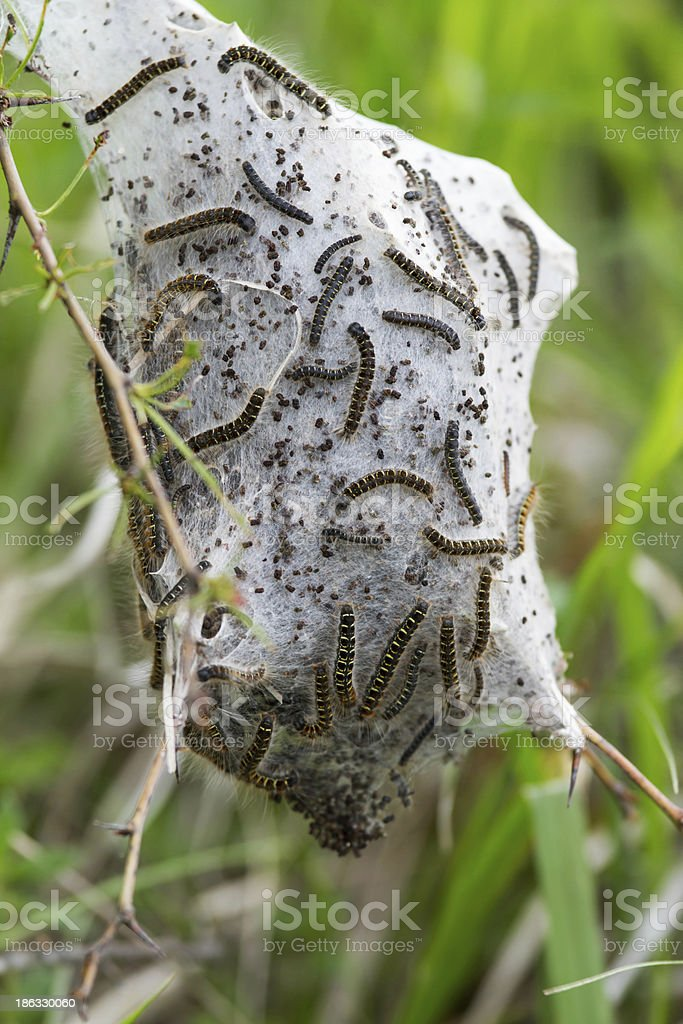 Caterpillars stock photo