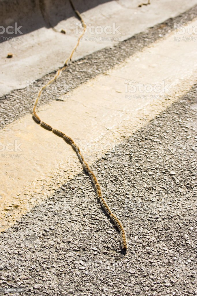Caterpillars queue to cross the road. royalty-free stock photo