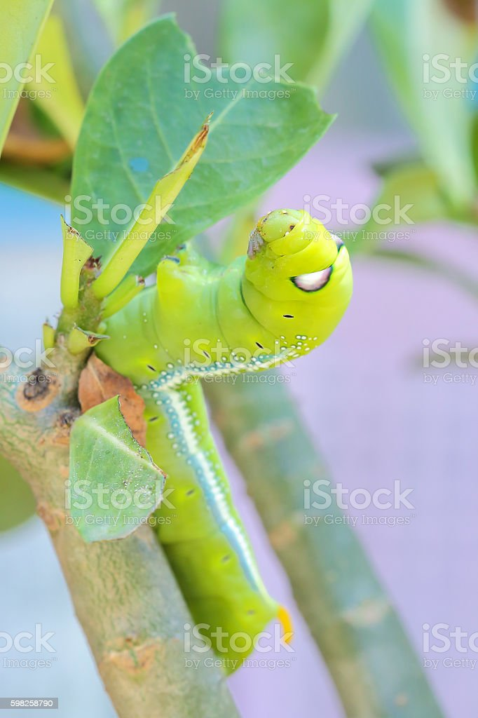 Caterpillars that eat leaves . stock photo