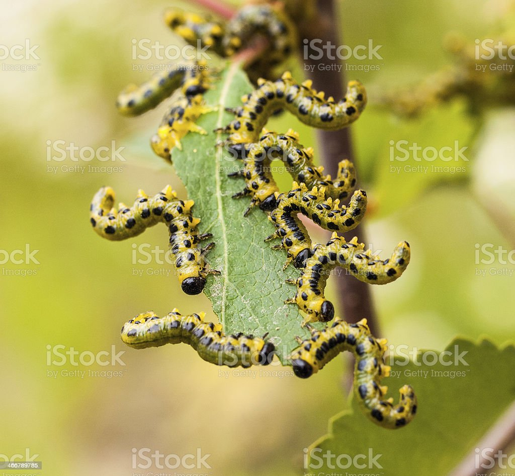 caterpillers eating the birch leaf stock photo