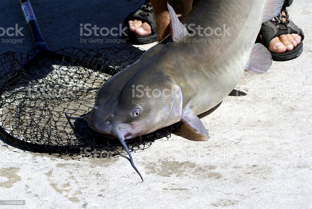 Catfish catch with eye stock photo