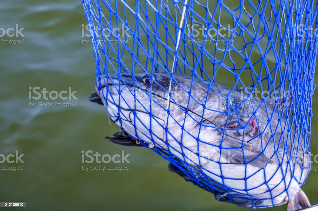 Catfish caught in net stock photo