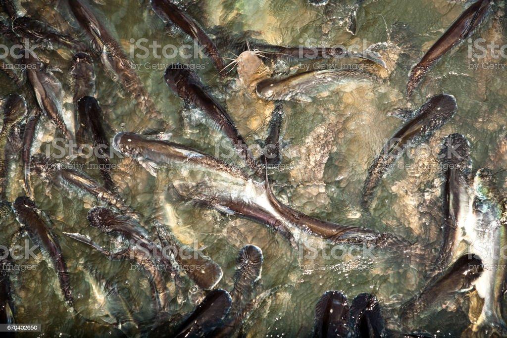 catfish in the river stock photo