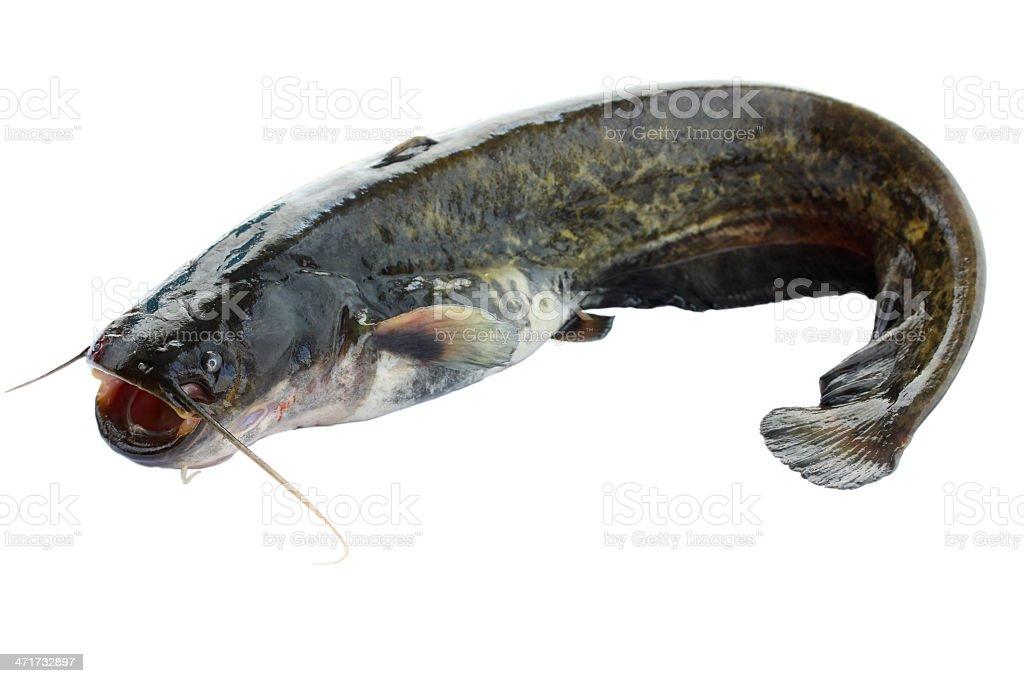 catfish isolated on white stock photo