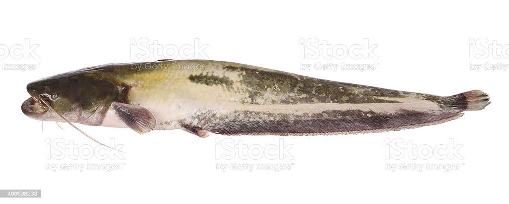 Catfish on white (Clipping path) stock photo
