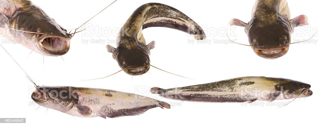 Catfish on white stock photo