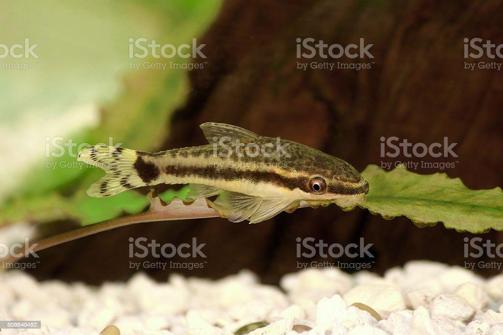 catfish Oto Dwarf Suckermouth otocinclus vittatus algae eater aquarium fish stock photo
