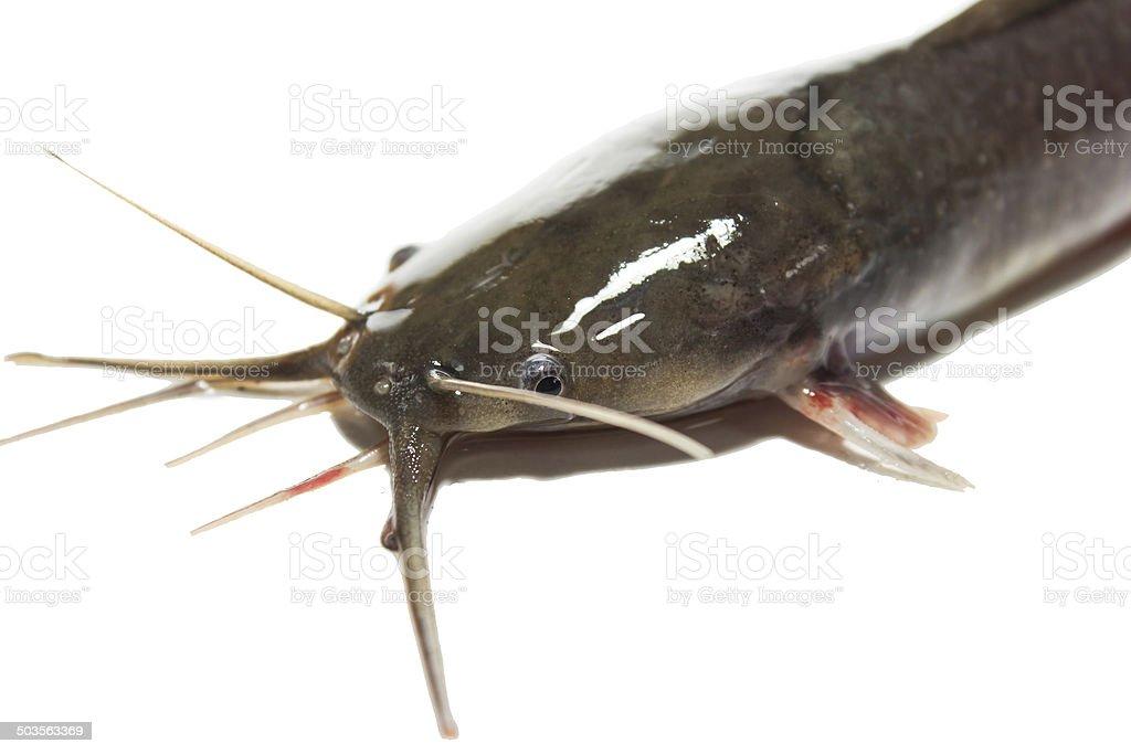 Catfish stock photo